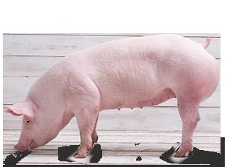 Cerdo en Pie
